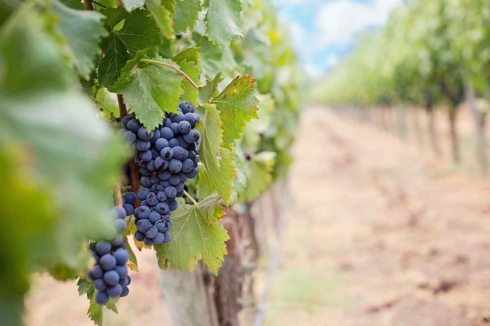 σταφύλι καβάλα και ποικιλίες κρασιών